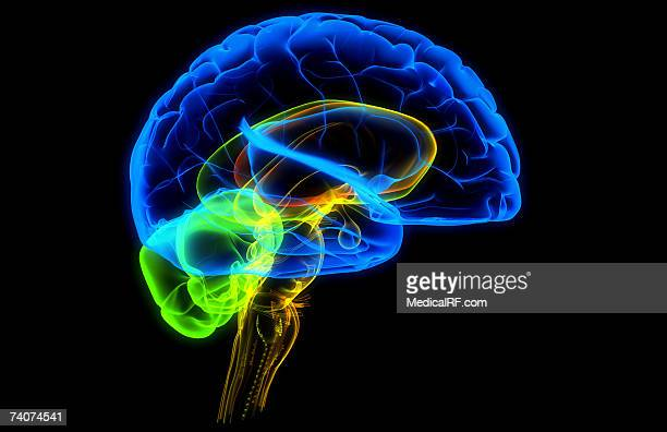 the human brain - cerebral nuclei stock illustrations, clip art, cartoons, & icons