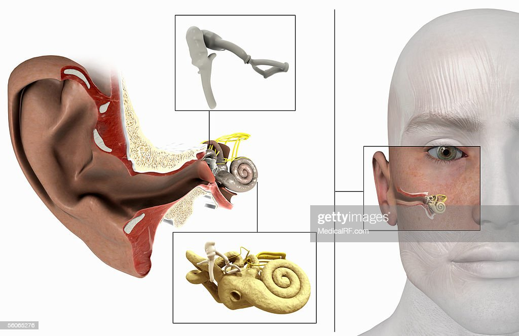 The Inner Anatomy Of The Ear Stock Illustration | Getty Images