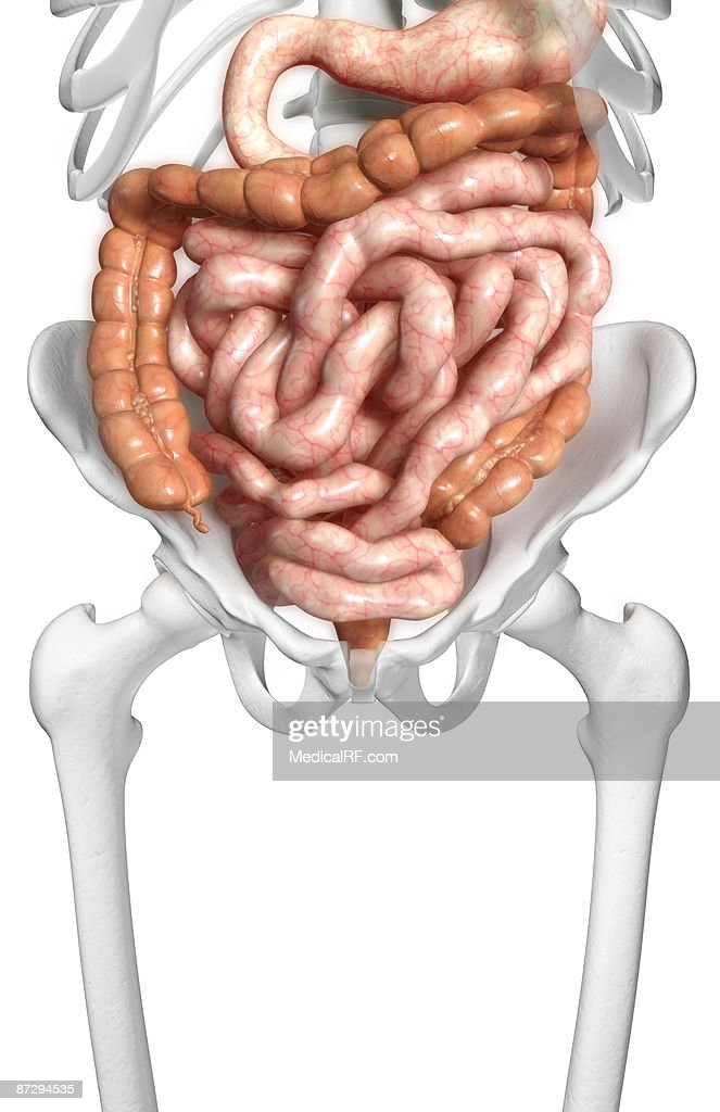 The Intestines Stock Illustration Getty Images