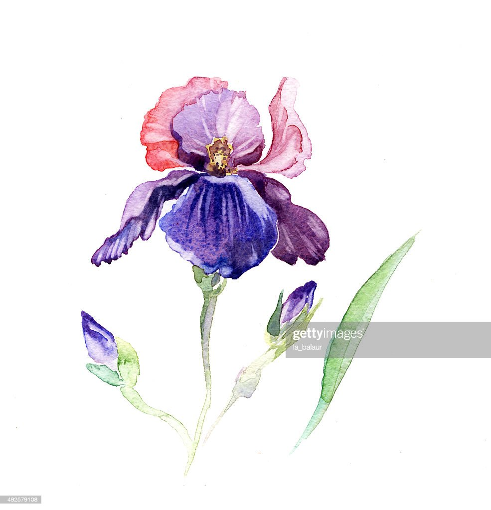 The Iris Flowers Watercolor Isolated On The White Stock Illustration