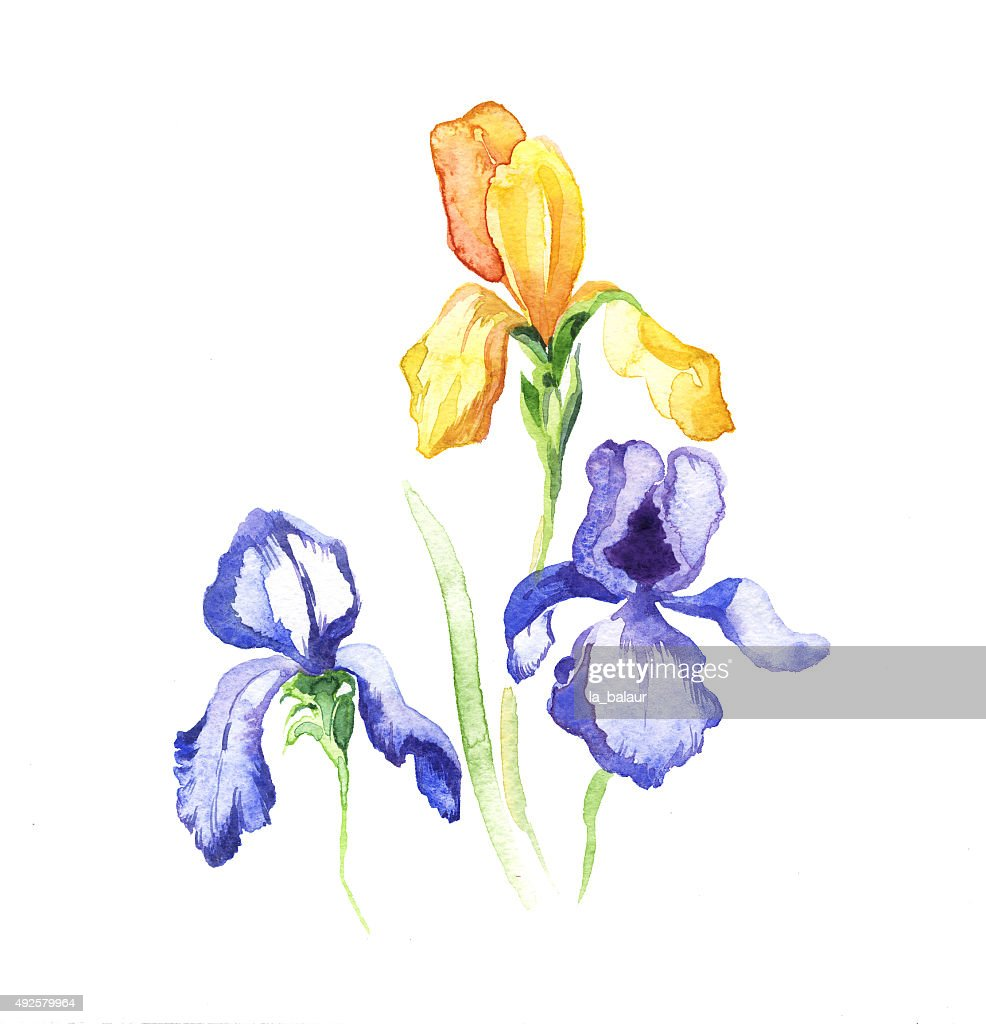The iris flowers watercolor isolated on the white stock illustration the iris flowers watercolor isolated on the white stock illustration izmirmasajfo