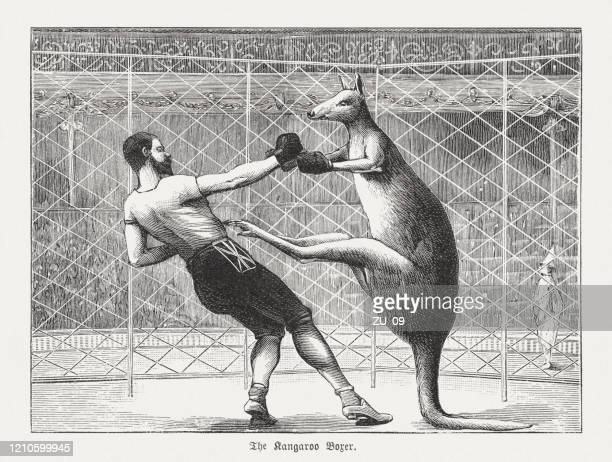 the kangaroo boxer, wood engraving, published in 1895 - boxing sport stock illustrations