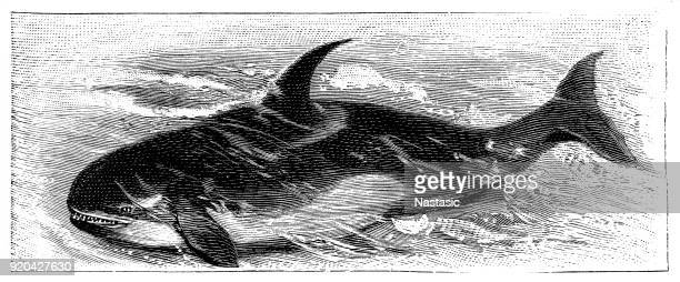 the killer whale or orca (orcinus orca) - killer whale stock illustrations, clip art, cartoons, & icons
