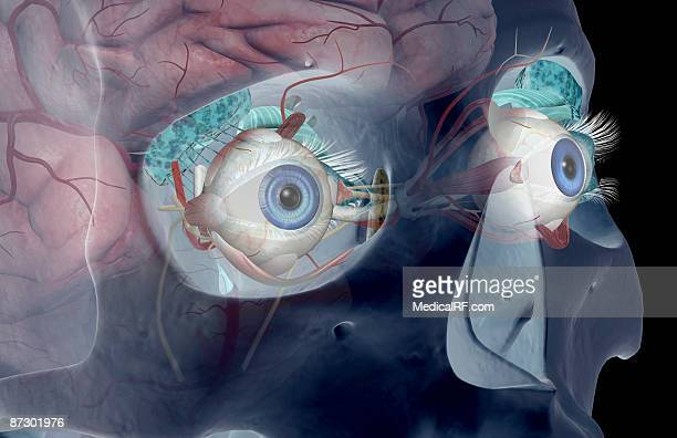 the lacrimal apparatus - fornix stock illustrations