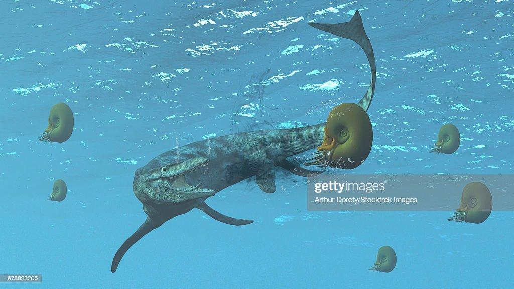 The large marine lizard of North America, Tylosaurus, tries to feed on some ammonites. : stock illustration