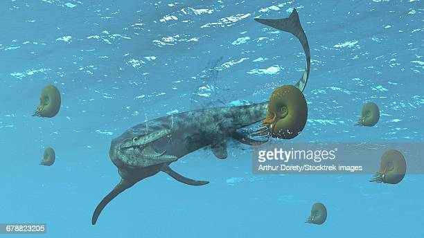 The large marine lizard of North America, Tylosaurus, tries to feed on some ammonites.