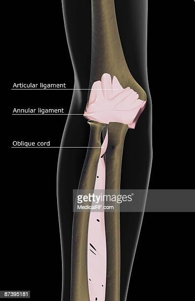 Annular Ligament Stock Illustrations And Cartoons | Getty Images