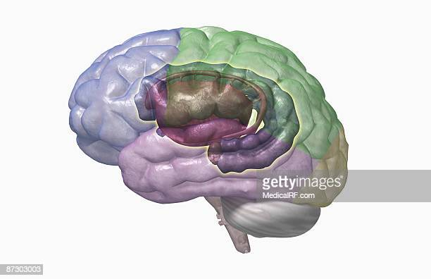 the limbic system - temporal lobe stock illustrations, clip art, cartoons, & icons