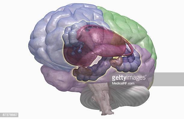 ilustrações, clipart, desenhos animados e ícones de the limbic system - lobo temporal