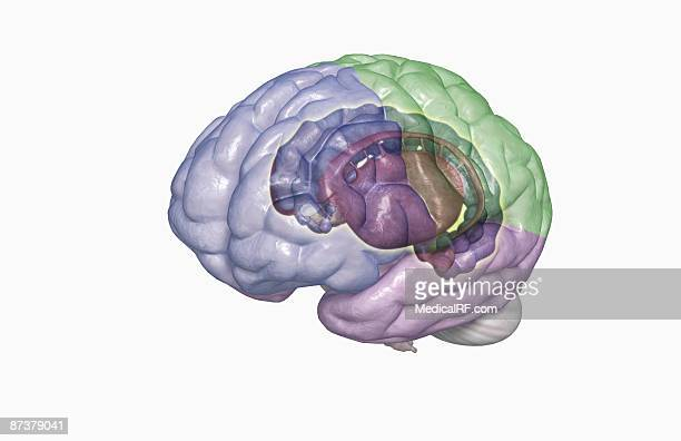 the limbic system - diencephalon stock illustrations, clip art, cartoons, & icons