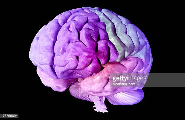 the lobes of the brain - temporal lobe stock illustrations, clip art, cartoons, & icons
