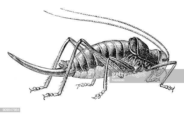 The Locust (locusta cucullata)