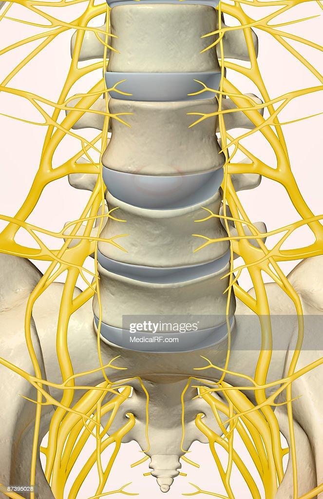 The lumbar and sacral plexus : Stock-Illustration