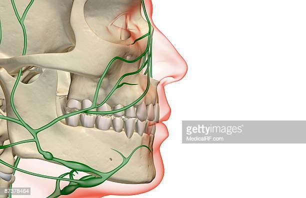 the lymph supply of the jaw - あご点のイラスト素材/クリップアート素材/マンガ素材/アイコン素材