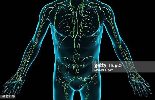 Axillary Lymph Node Stock Illustrations And Cartoons | Getty Images