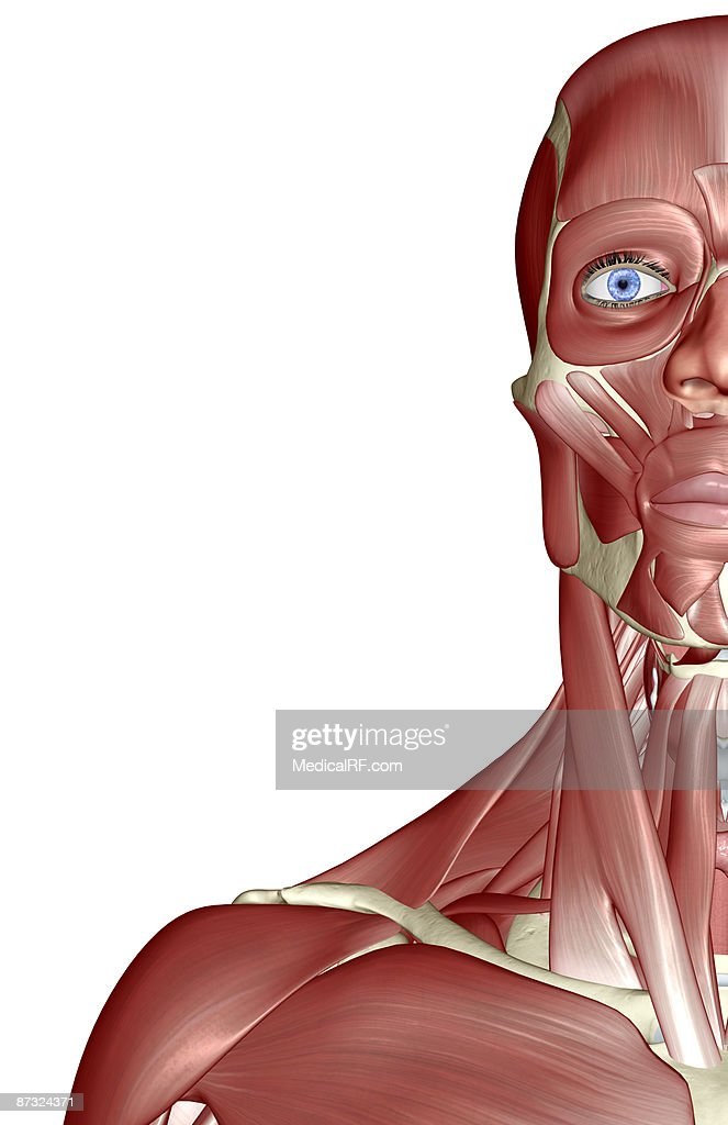 The Muscles Of The Face Neck And Shoulder Stock Illustration Getty