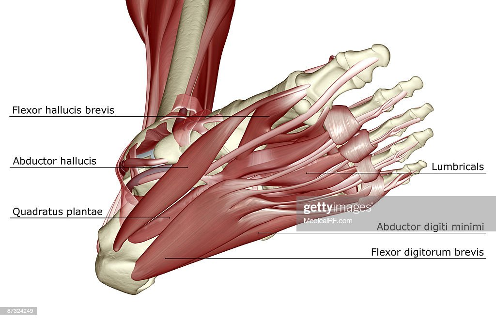 The Muscles Of The Foot Stock Illustration Getty Images