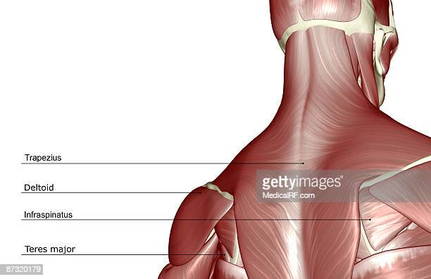 the muscles of the head and neck - infraspinatus stock illustrations, clip art, cartoons, & icons