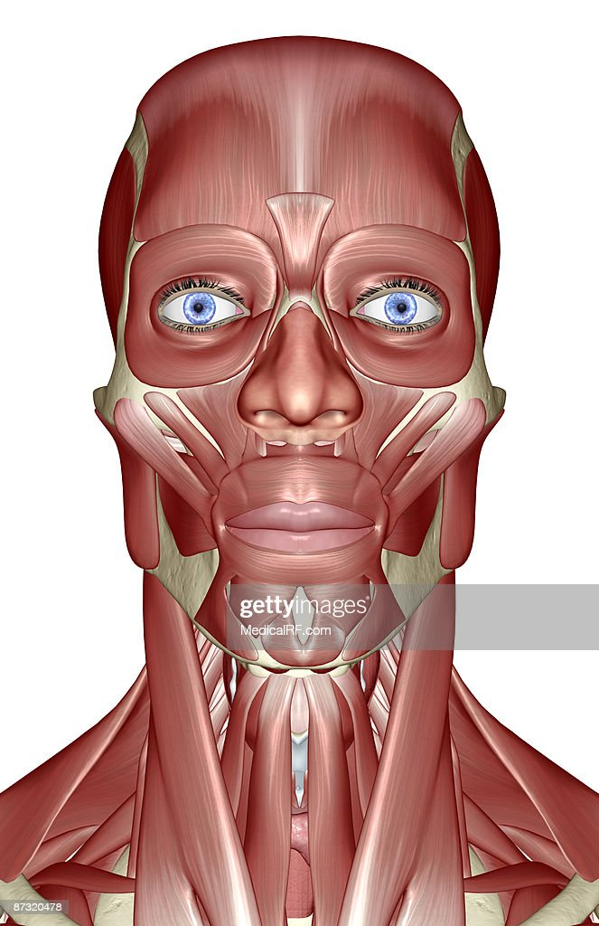 The Muscles Of The Head Neck And Face Stock Illustration | Getty Images