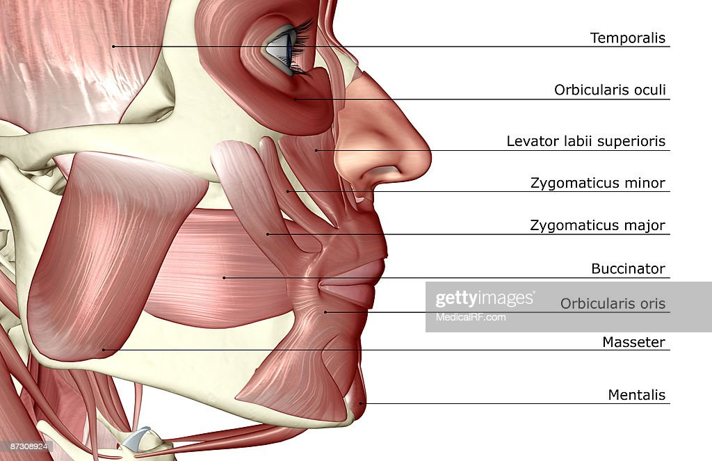 The Muscles Of The Jaw Stock Illustration | Getty Images