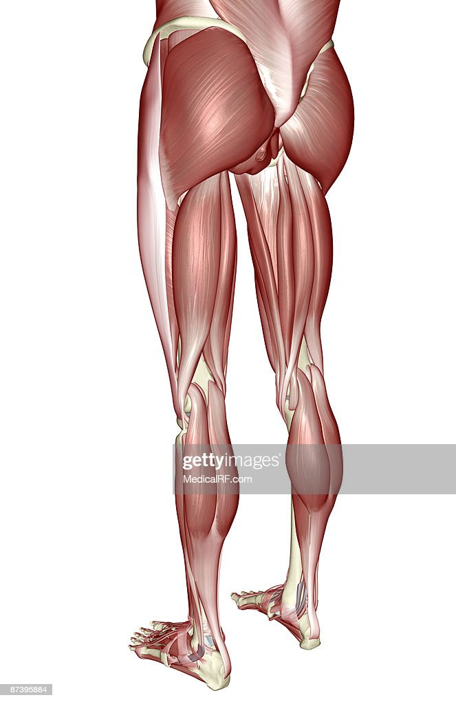 The Muscles Of The Lower Body Stock Illustration | Getty Images