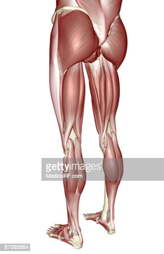 Medical Illustration Of Human Leg Muscles Four Side Views Stock