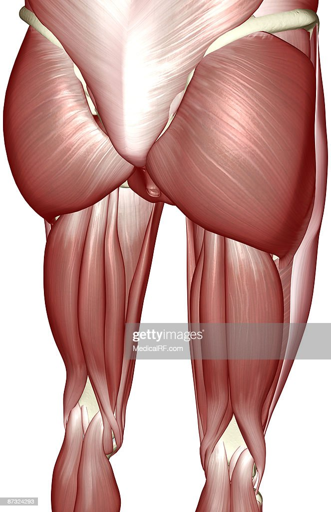 The muscles of the lower limb : Stock Illustration