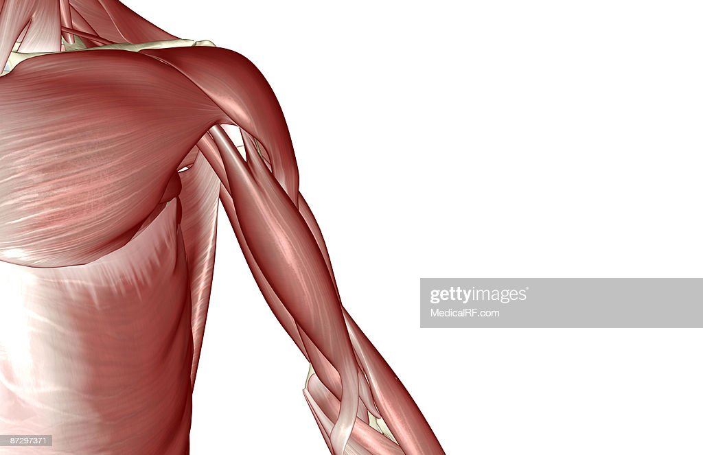 The Muscles Of The Shoulder And Upper Arm Stock Illustration Getty