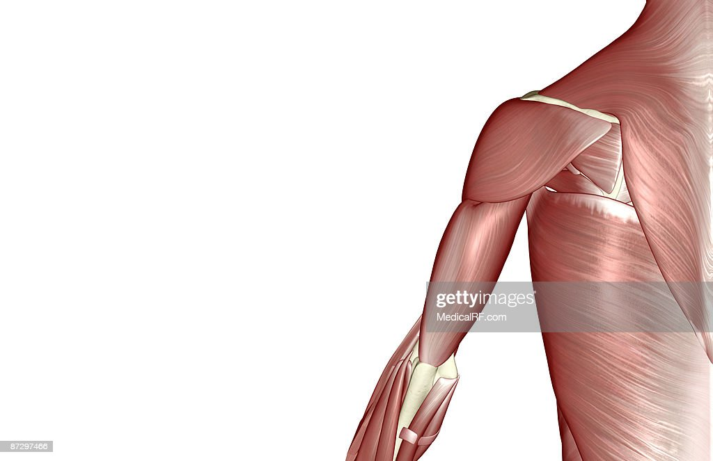 The Muscles Of The Shoulder And Upper Arm Stock Illustration | Getty ...