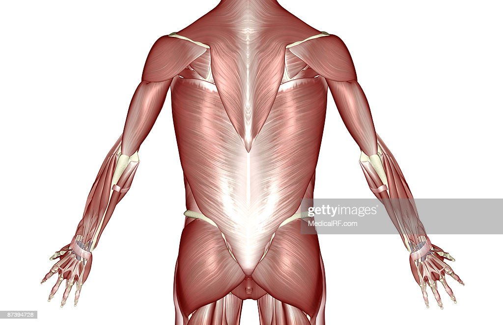 The Muscles Of The Trunk Stock Illustration Getty Images