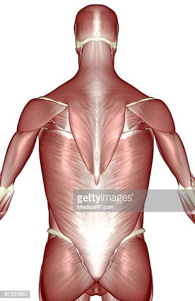 the muscles of the upper body - infraspinatus stock illustrations, clip art, cartoons, & icons