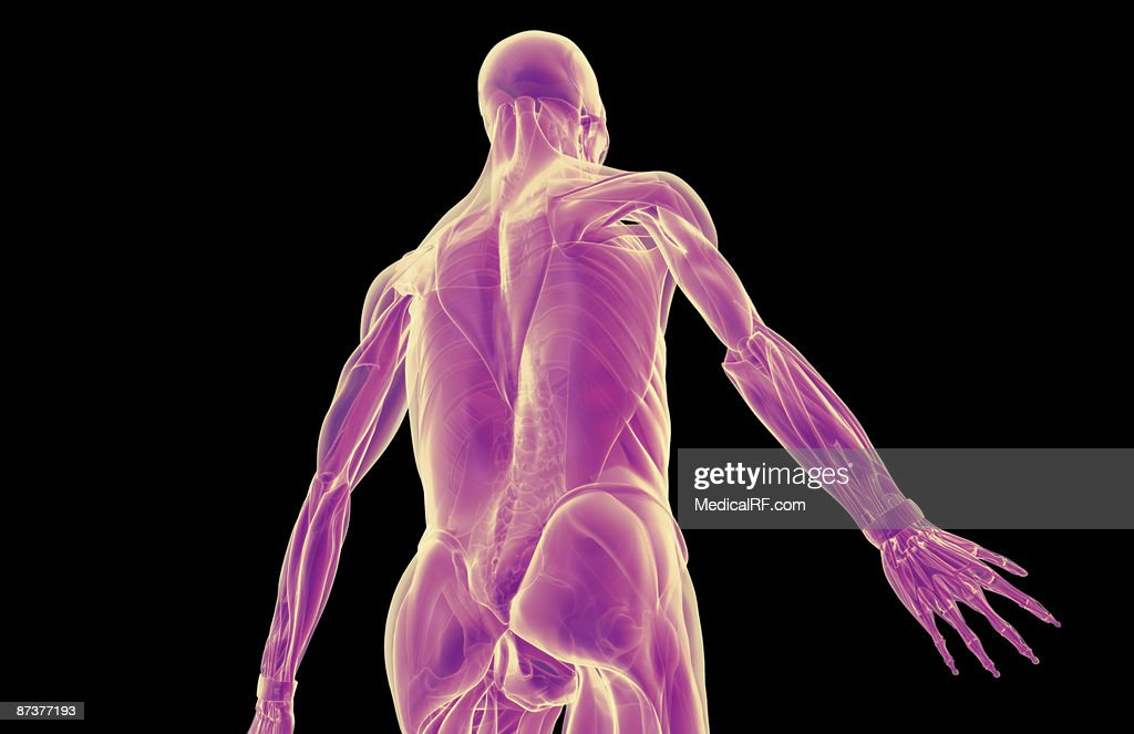 The Muscles Of The Upper Body Stock Illustration Getty Images