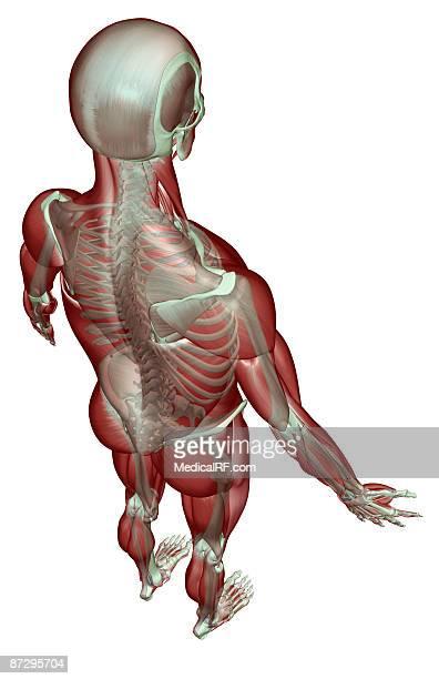 illustrations, cliparts, dessins animés et icônes de the musculoskeletal system - images