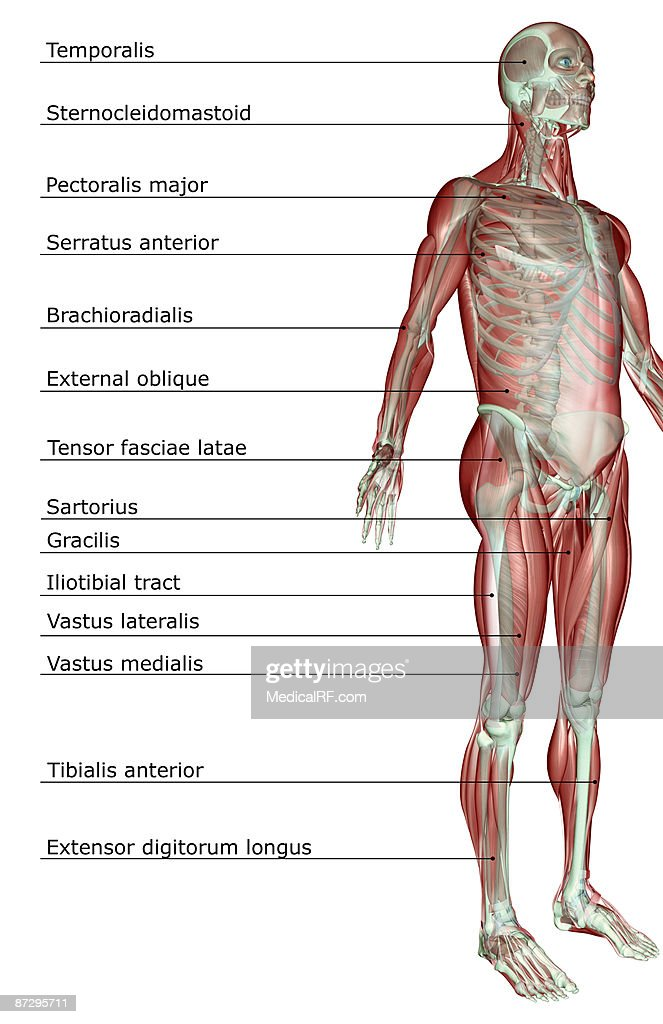 The Musculoskeletal System Stock Illustration Getty Images