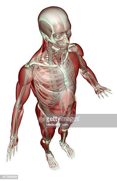 External Oblique Muscle Stock Photos and Pictures   Getty Images