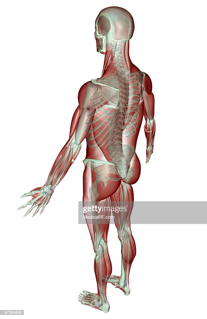 the musculoskeletal system ストックイラストレーション getty images