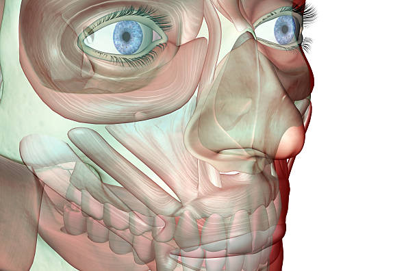 The Musculoskeleton Of The Face Wall Art