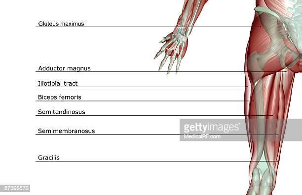 the musculoskeleton of the hip - hip body part stock illustrations, clip art, cartoons, & icons