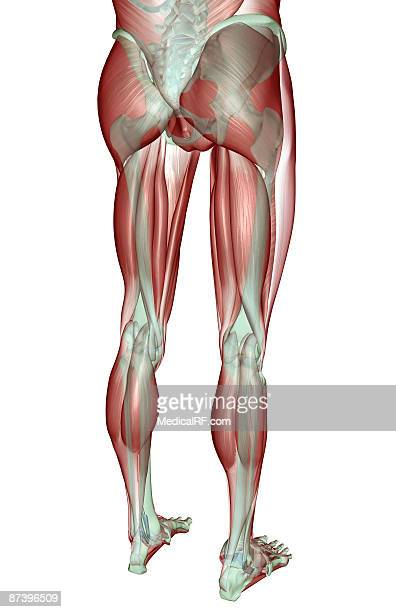 the musculoskeleton of the lower body - human knee stock illustrations, clip art, cartoons, & icons