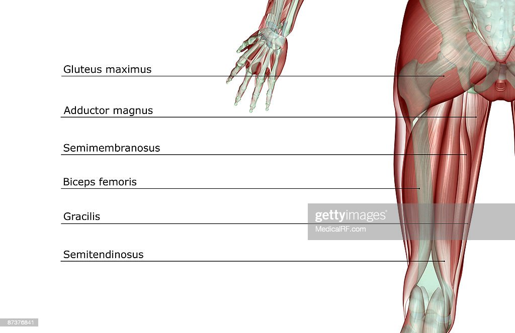 The musculoskeleton of the thigh : Stock Illustration