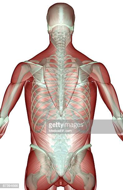 the musculoskeleton of the upper body - human back stock illustrations, clip art, cartoons, & icons