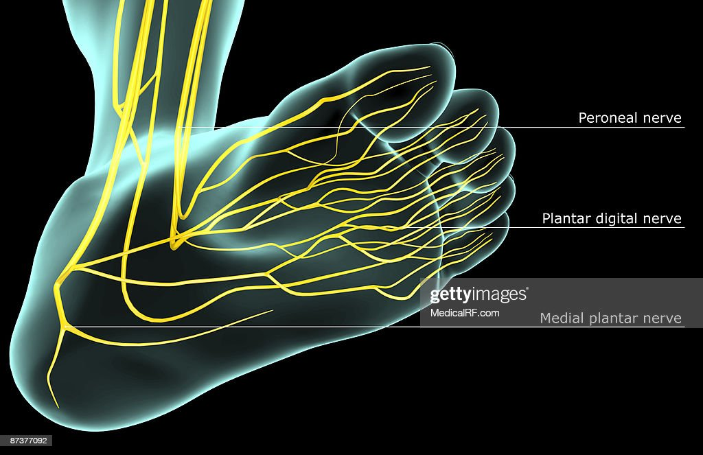 The nerves of the foot : stock illustration