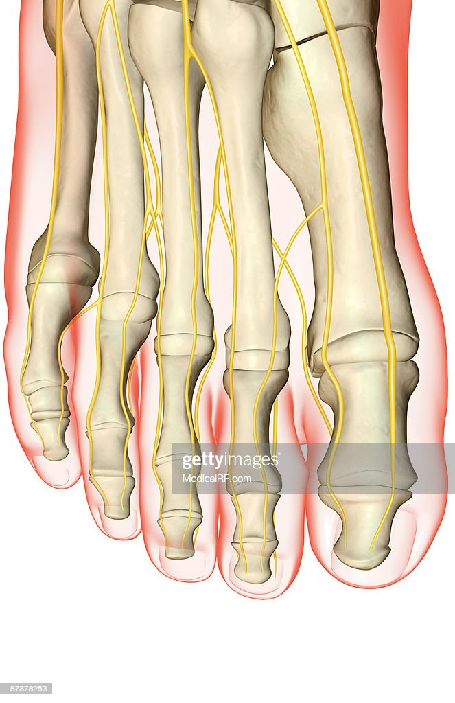 The Nerves Of The Foot Stock Illustration | Getty Images