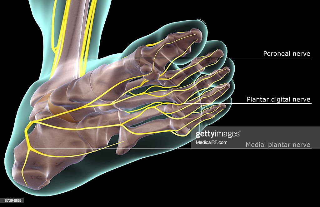 The Nerves Of The Foot Stock Illustration   Getty Images