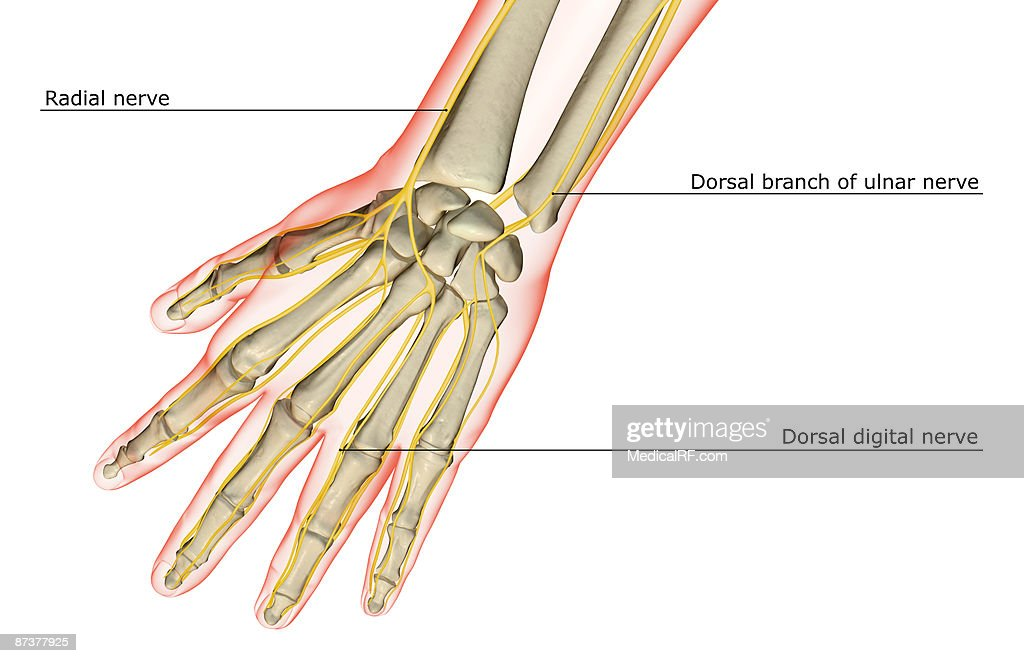 Radial Nerve Stock Illustrations And Cartoons Getty Images