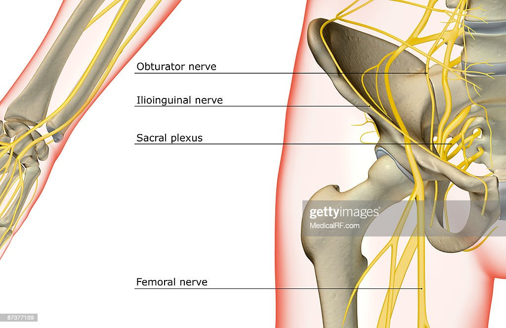 The Nerves Of The Hip Stock Illustration Getty Images