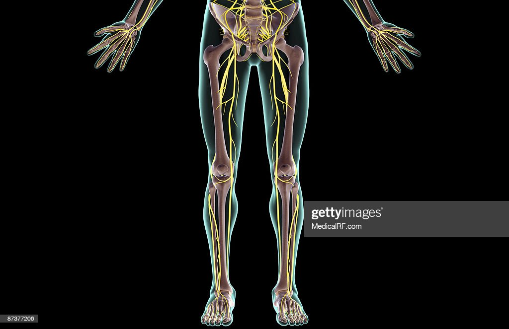 The Nerves Of The Lower Body Stock Illustration Getty Images