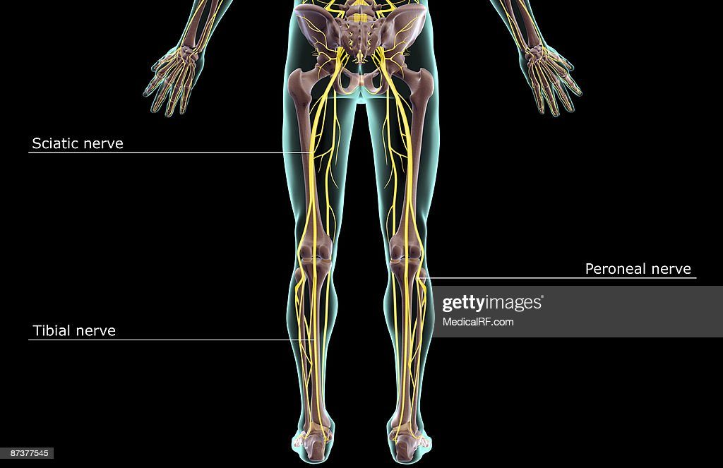 The nerves of the lower body : stock illustration