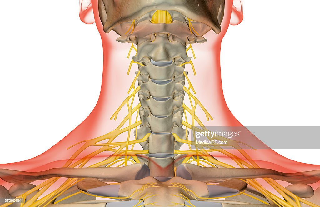 The Nerves Of The Neck Stock Illustration Getty Images