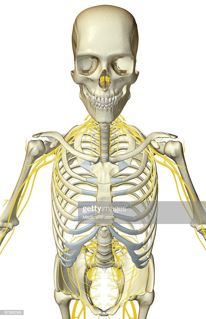 Großartig Erweiterung In Der Anatomie Galerie - Menschliche Anatomie ...